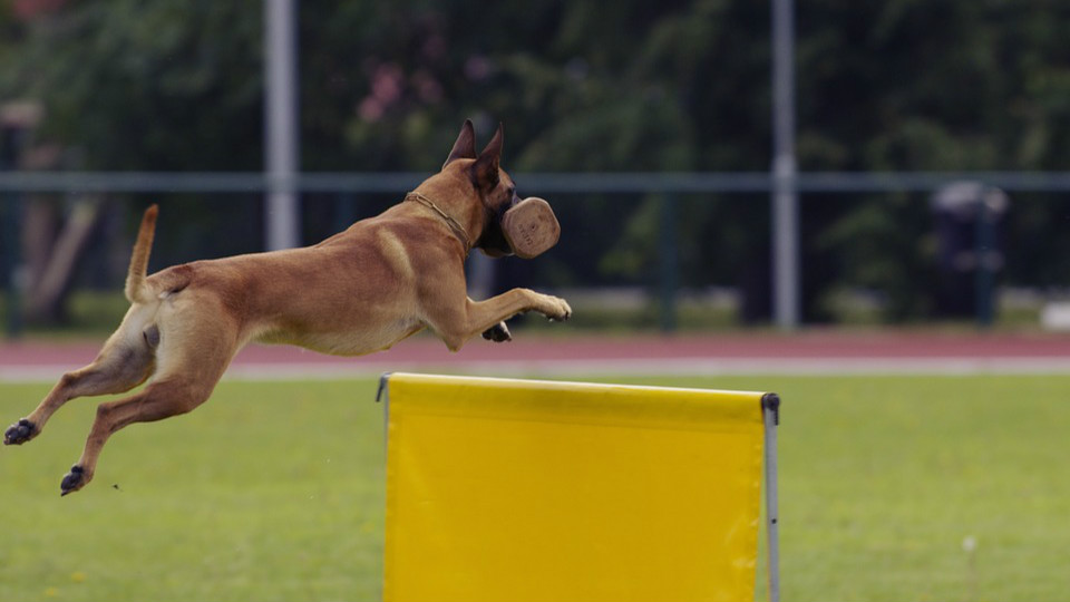 Brown dog with pointy ears catches brown bone while jumping over a yellow hurdle.